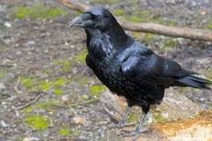 Raven (Corvus corax) Stock Photos