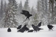 Raven, Corvus corax. In flight in Finland, winter Royalty Free Stock Photography
