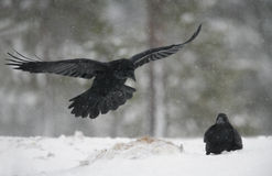 Raven, Corvus corax. In flight in Finland, winter Royalty Free Stock Image