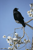 Raven, Corvus corax. Single bird in frost covered tree, winter, Yellowstone, USA Royalty Free Stock Photo