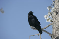 Raven, Corvus corax Royalty Free Stock Photos