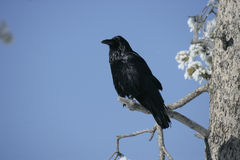 Raven, Corvus corax Royalty Free Stock Photo