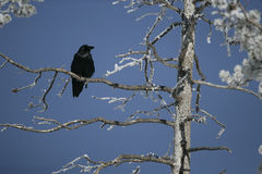 Raven, Corvus corax Stock Images