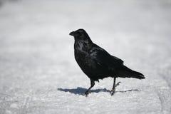 Raven, Corvus corax, Stock Images