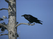 Raven, Corvus corax, Royalty Free Stock Photo