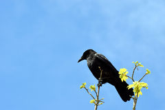 Raven Corvus corax. Sitting in a branch against blue sky Royalty Free Stock Photography