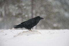 Raven, Corvus corax Stock Photography