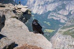 Raven Corvus corax som överst sitter av den halva kupolen, Yosemite nationalpark, Kalifornien Arkivbild