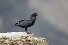 Raven, Corvus corax. In Spain on rocks Stock Image