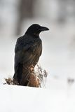 Raven Corvus corax. In winter Royalty Free Stock Photos