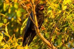 Raven Corvus Coronoides - Austrália foto de stock