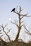 Raven crépusculaire Image stock
