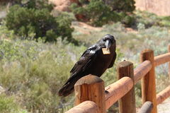 Raven with cracker. Arches National Park, Utah Royalty Free Stock Image