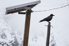 Raven crow bird sitting pole, snowing Nepal mountains. Royalty Free Stock Photography