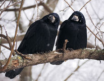 Raven and crow at brach close-up Stock Photos