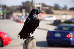 Raven or Crow in city. Portrait of black raven or crow perched in city with automobiles in background Royalty Free Stock Photos