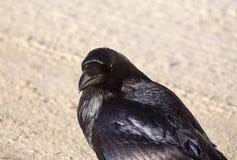 Raven Crow en nieve Imagen de archivo