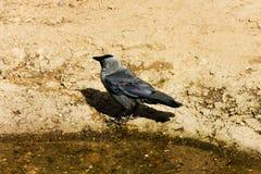 Raven Stock Photos