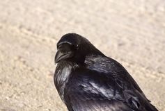 Raven Crow i snö Fotografering för Bildbyråer