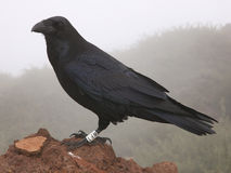 Raven or Crow portrait on La Palma Stock Photos