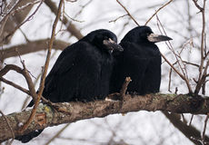 Raven and crow sitting at brach close-up Stock Photo