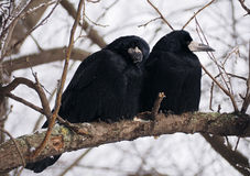 Raven and crow sitting at brach close-up Royalty Free Stock Photos