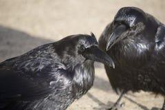 Raven Crow in sneeuw Stock Fotografie
