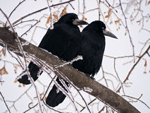 Raven and crow at tree in snowfall Stock Photo