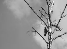 Raven. Crows in a tree before flying Royalty Free Stock Photo