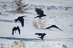 Raven Dance. Ravens silhouette in flight over snow Stock Photos