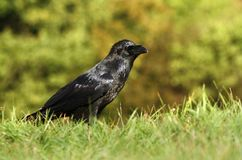 Raven dans l'herbe Photographie stock