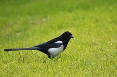 Raven dans le cimetière Photo libre de droits