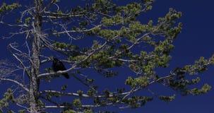 Raven dans un pin avec les cieux bleus 4k 24fps banque de vidéos