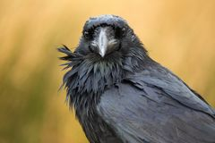 A raven in Dartmoor, UK royalty free stock photography