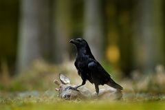 Raven with dead European Roe Deer, carcass in the forest. Black bird with head on the the forest road. Animal behavir, feeding sce. Ne in Germany, Europe stock photo