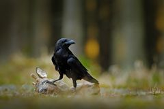 Raven with dead European Roe Deer, carcass in the forest. Black bird with head on the the forest road. Animal behavir, feeding sce. Ne in Germany, Europe royalty free stock images