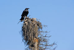 Raven on dead tree Royalty Free Stock Image