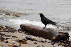 Raven on Deadwood on Beach Royalty Free Stock Photo