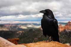 Raven on desert mesa Stock Photos