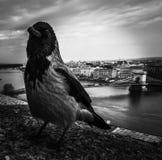 raven royalty-vrije stock afbeeldingen