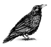 Raven drawing. Raven hand drawn high quality graphic Royalty Free Stock Images
