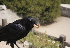 Raven eating bread. On wooden fence and bushes in the background Royalty Free Stock Image