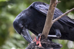 Raven eating carrion Stock Photography