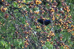 Raven eating some fruits Stock Photos
