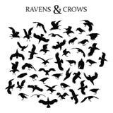 Raven en Kraaien Stock Foto