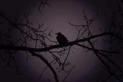 Raven en una rama en la noche en bosque Foto de archivo libre de regalías