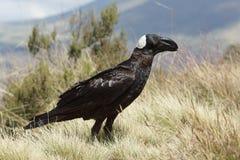 Raven, Ethiopia, Africa Royalty Free Stock Photos