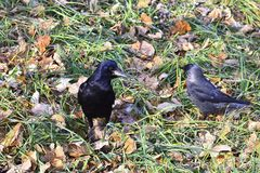 The Raven the fall of the city on green grass with fallen leaves Stock Photos