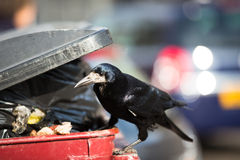 Raven feeding on rubbish. In a city Royalty Free Stock Images