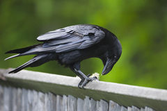 Raven on fence Royalty Free Stock Image